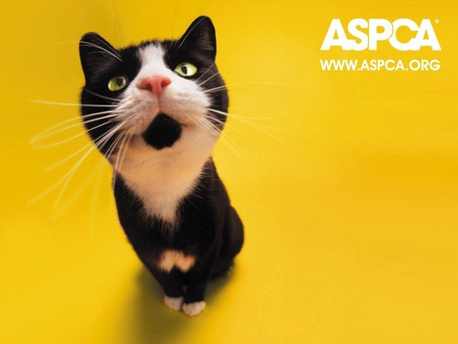 aspca_cat