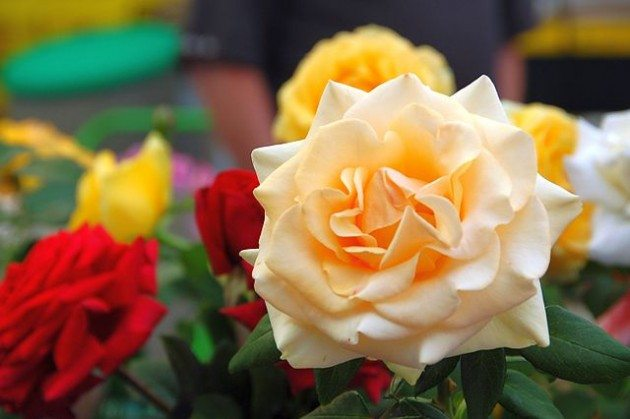 "The ""Marilyn Monroe"" rose. Photo Credit: Chris Phutully"