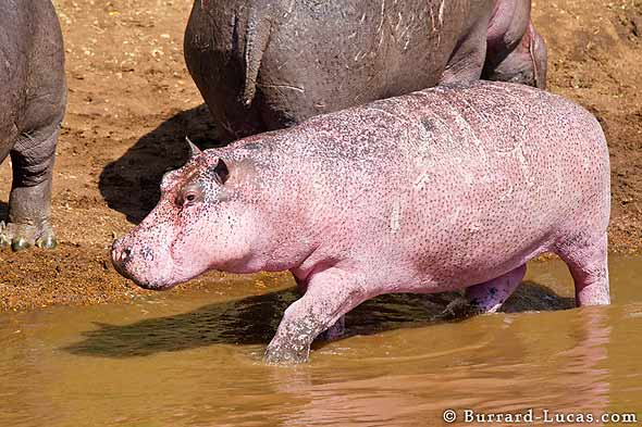 pink-hippo