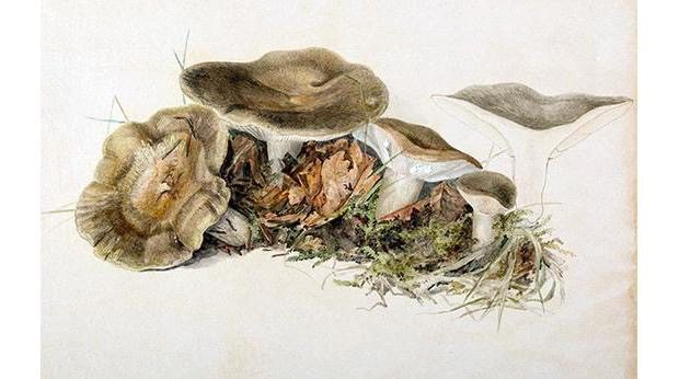 Lactarius blennius, Beech Milkcap illustration by Beatrix Potter