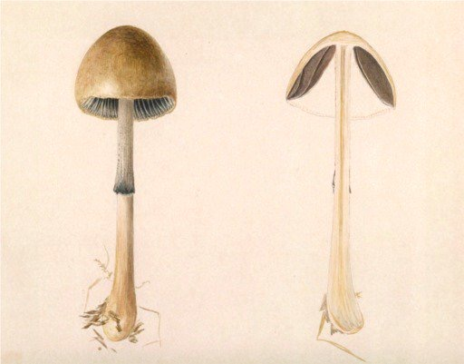 beatrix potter funghi vertical